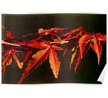 Japanese Maple (2) Poster