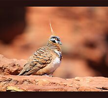 Spinifex Pidgeon by jono johnson