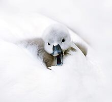 Chatty Cygnet by Jacky Parker