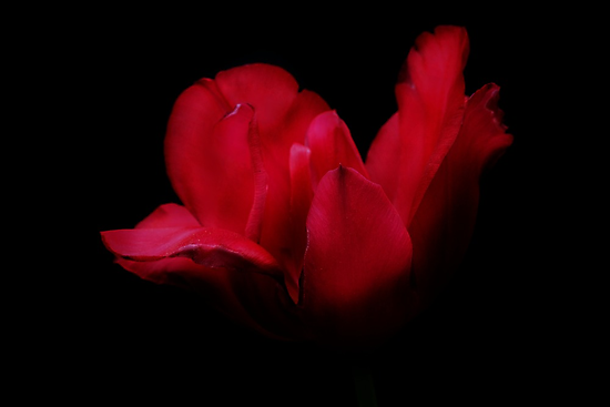 Patricia's Tulip by Samantha Higgs