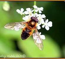 """""""A golden Dronefly hoverfly"""" by Aisling Walsh"""