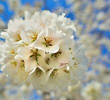 Cherry Blossom by thegforcers