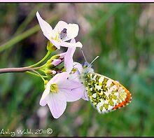 Male Orangetip Butterfly  by Aisling Walsh