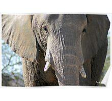 """""""Holding back"""" elephant (loxodonta africana) - Botswana Poster"""