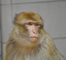Barbary Macaque by Dorothy Thomson