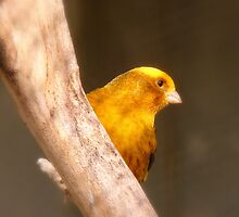 Tweety Bird! - Canary - Southland NZ by AndreaEL
