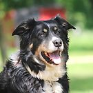 Pup, our  Australian Shepherd  by SusieG