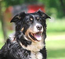 Pup, our  Australian Shepherd  by SusieG