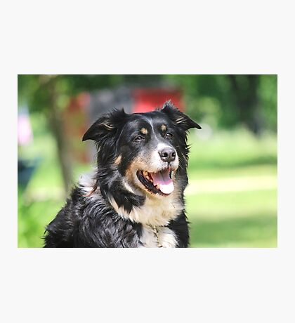 Pup, our  Australian Shepherd  Photographic Print