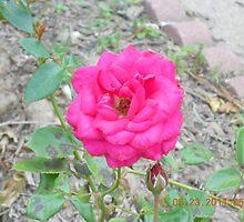 Dark Pink Rose #160 by steeltrap