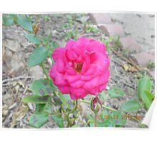 Dark Pink Rose #160 Poster