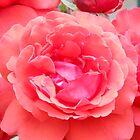 Hot Pink Single Rose #165 by steeltrap