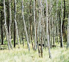 White Birch Trees - Flagstaff, AZ by Jane Fitzgerald Hylton