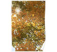 Aspen Trees. Poster