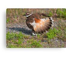 Killdeer Displaying Canvas Print