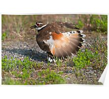 Killdeer Displaying Poster