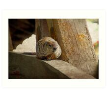 How much wood would a woodchuck chuck if a woodchuck could chuck wood? Art Print