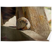 How much wood would a woodchuck chuck if a woodchuck could chuck wood? Poster