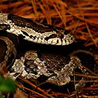 Eastern Milk Snake Closeup by Robert Miesner