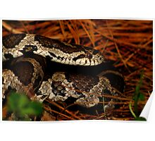Eastern Milk Snake Closeup Poster