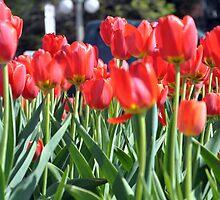 Tulips by VikasGupta