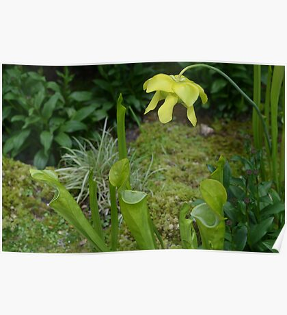 Carnivorous plants and flowers - Sarracenia Poster