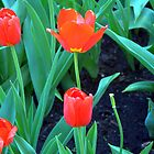 Tulip pair by VikasGupta