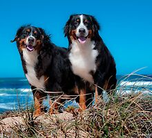 Bernese Mountain Dog by Tawnydal