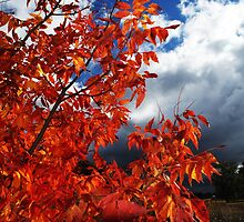 Autumn Leaves In May, Narrabri NSW Australia. by Liza Barlow