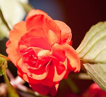 red begonia by rajeshbac