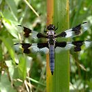 dragonfly on a blade of grass by QuietRebel