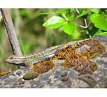 Blue Belly Fence Lizard Photographic Print