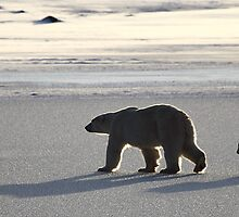 Silver Glow Panorama. Polar Bears at Sundown, Churchill, Canada  by Carole-Anne