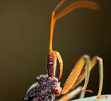 Pristhesancus plagipennis by andrachne