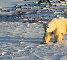 Polar Bear Walking in Footprints, Churchill, Canada by Carole-Anne