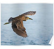 Black-crowned Night Heron Poster