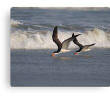 Black Skimmers Skimming Canvas Print
