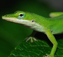 Green Anole by Tom Dunkerton