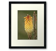 """Red Hot Poker"" Framed Print"