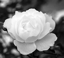 White Spring Rose, Chelsea by Julian Raphael Prante