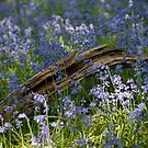 Fallen branch in bluebell wood by Christopher Cullen