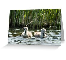 Wild Baby Cygnets Greeting Card