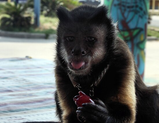 Capuchin Monkey by luckylarue