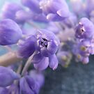 Hyacinth by Tracy Faught