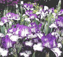 Iris art from Denver Botanic Gardens by Margot Ardourel