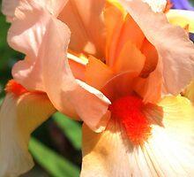 Peach Iris by Victoria limerick