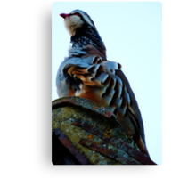 Red Legged Partridge Canvas Print
