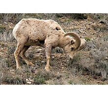 Bighorn sheep snack Photographic Print