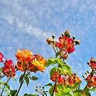red roses in the sky by Steve