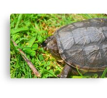 Young Snapping Turtle Metal Print